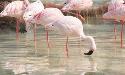 Discovering Lio Piccolo and pink flamingos