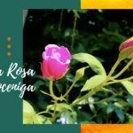 Alla scoperta della Rosa Moceniga nel parco di Fratta